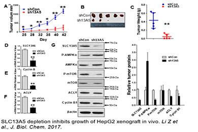 SLC13A5 depletion inhibits growth of HepG2 xenograft in vivo. Li Z et al., J. Biol. Chem. 2017.